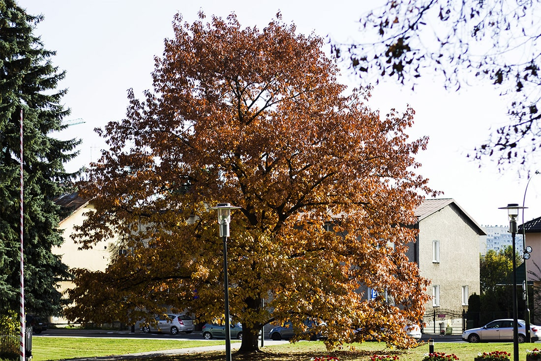 Rzeszów – drzewo w okolicy fontanny multimedialnej