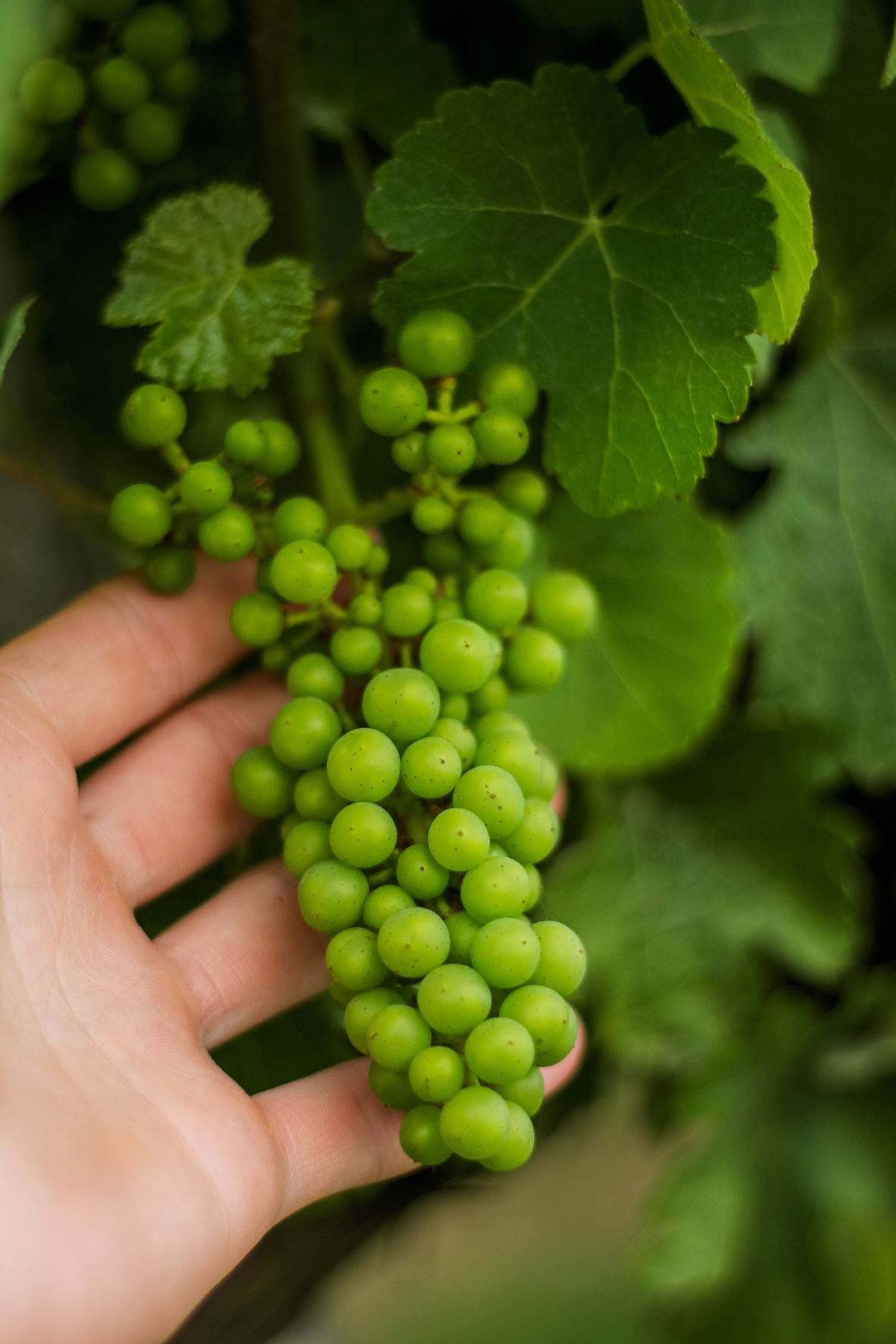 winnica chodorowa wina