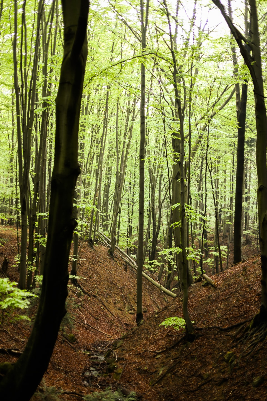 Ścieżka Przyrodnicza Folusz - las bukowy.