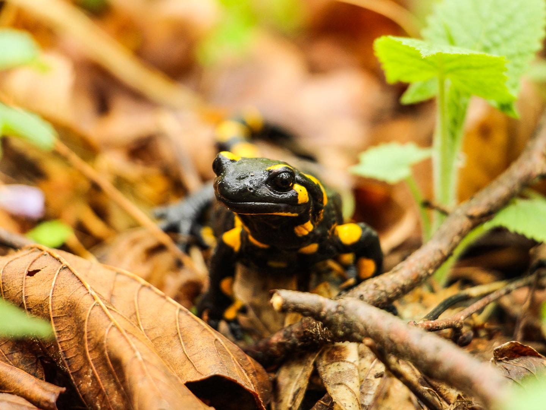 Salamandra plamista na ścieżce przyrodniczej Folusz