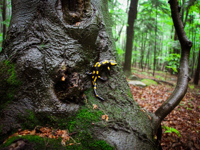 Salamandra plamista na Ścieżce Przyrodniczej w Foluszu